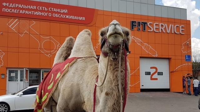 Верблюд в подарок. Федеральная сеть автосервисов FIT Service запустила летнюю акцию